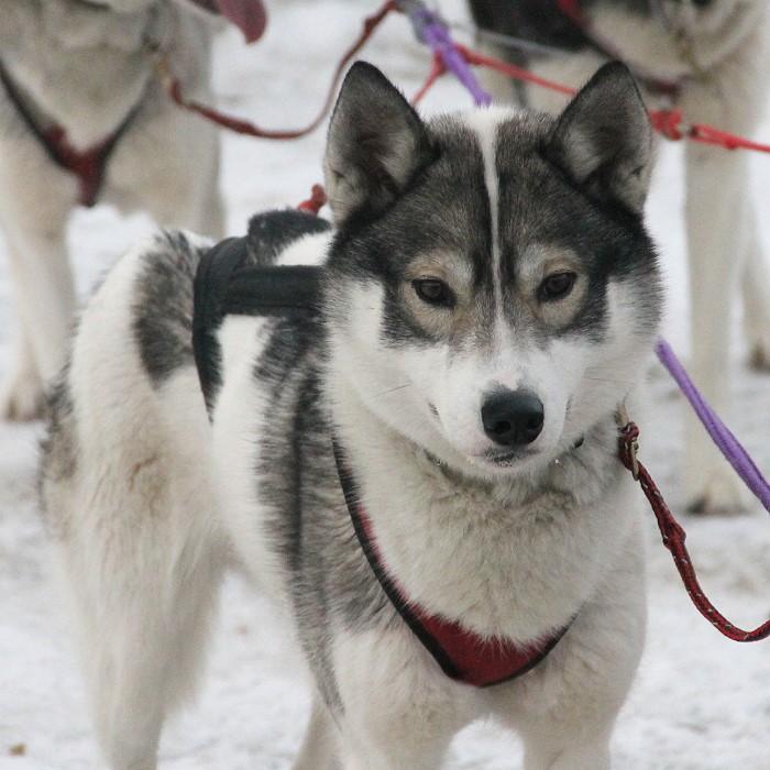 Kelim Siberian Huskies A New Hampshire Racing Kennel